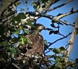 Juvenile Bald Eagle #3 by picardroe, photography->birds gallery