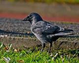 Corvus monedula by biffobear, photography->birds gallery