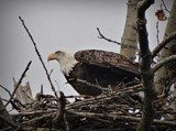 Bald Eagle # 17 by picardroe, photography->birds gallery