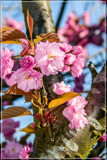 Japanese Cherry Blossom by corngrowth, photography->flowers gallery
