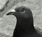 Pigeon Profile by LakeMichigan, contests->b/w challenge gallery