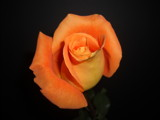 Orange Rose # 10? by ccmerino, Photography->Flowers gallery