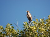 Raptor ( 1 ) by gerryp, Photography->Birds gallery