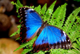 Iridescent Flutterby by braces, Photography->Butterflies gallery