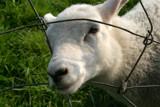 mary's lamb by jeenie11, Photography->Animals gallery