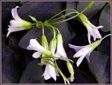 Bloomin' Shamrocks by trixxie17, photography->flowers gallery