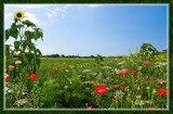 Summer Wildflowers 08 by corngrowth, Photography->Landscape gallery