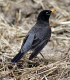 Robin by Pistos, photography->birds gallery