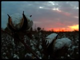 Cotton Season's End by Blague, photography->sunset/rise gallery