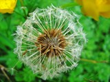 Make a wish! by Pmtomsic, Photography->Flowers gallery