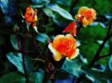 Soft focus Roses by biffobear, photography->flowers gallery