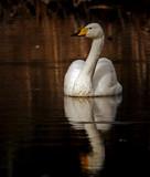 Whooper Swan by biffobear, photography->birds gallery