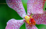 Singapore Orchid Gardens 15 by Samatar, Photography->Flowers gallery