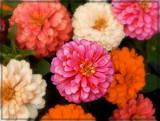 Zinnias by trixxie17, photography->flowers gallery