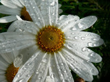 Rained Upon 2 by LynEve, Photography->Flowers gallery