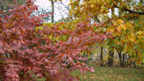 Japanese Maple, Pin Oak, October 2012 by Chipola1972, photography->nature gallery