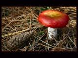 Mushred by Paul_Gerritsen, Photography->Mushrooms gallery