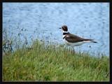 Kildeer by gerryp, Photography->Birds gallery