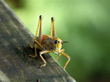 Lubber Grasshopper by Janromeo, Photography->Insects/Spiders gallery
