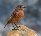 Female Stonechat by biffobear, photography->birds gallery