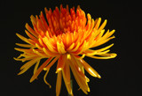 Tangerine Explosion!!!! by jerseygurl, photography->flowers gallery