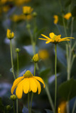 Coneflowers by Pistos, photography->flowers gallery