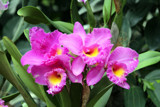 Singapore Orchids (10) by Pistos, photography->flowers gallery