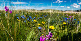 Mountain Meadow Flowers by Pistos, photography->flowers gallery