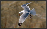 Seagull attacks! by ppigeon, Photography->Birds gallery