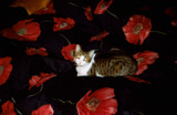 Kitschy in a poppy field by barbaramalia, photography->pets gallery