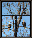 Twin Eagles by 0930_23, photography->birds gallery