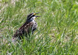 Meadow Lark by Pistos, photography->birds gallery