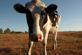 Moo've by meandian, Photography->Animals gallery
