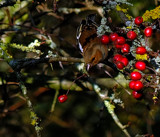Amongst the Berries.. by biffobear, photography->birds gallery