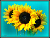 Sunflowers by ccmerino, photography->flowers gallery
