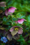 Hellebore by Pistos, photography->flowers gallery