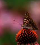 Butterflies Are Free_2nd posting. by tigger3, photography->macro gallery