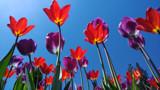 Sun Sky Tulips by Salishutter, photography->flowers gallery
