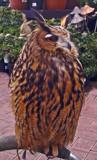Eddie the eagle owl by biffobear, Photography->Birds gallery