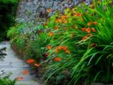 Crocosmia by biffobear, photography->flowers gallery