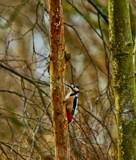 Woody by biffobear, photography->birds gallery