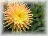 Sunny Dahlia by LynEve, photography->flowers gallery