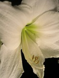 Amaryllis by ccmerino, photography->flowers gallery