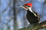 """Meet Mr. Pileated Woodpecker"" by icedancer, photography->birds gallery"