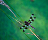 Twelve-Spotted Skimmer by Pistos, photography->insects/spiders gallery