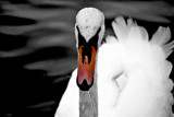 Swan Lake in B&W by braces, contests->b/w challenge gallery