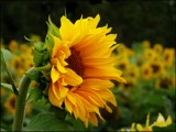 Sunflower time #2 by LynEve, photography->flowers gallery