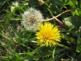 Dandelion by BernieSpeed, Photography->Flowers gallery