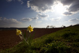 Daffodils and sown field by coram9, photography->landscape gallery