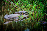 Log Lounger by 100k_xle, Photography->Reptiles/amphibians gallery